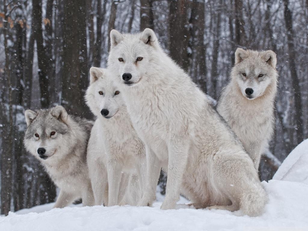 4 wolf