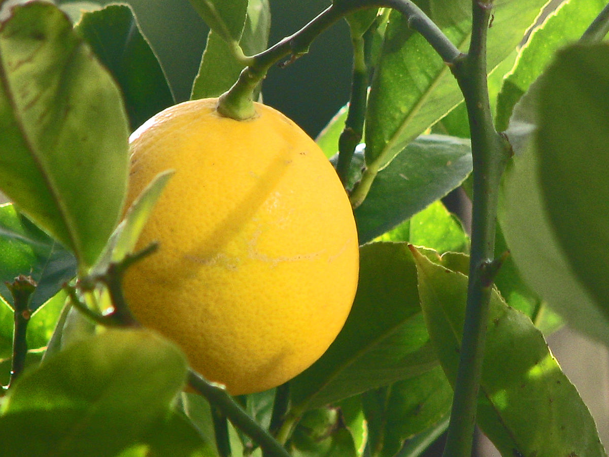 7meyer lemon