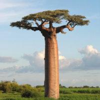 baobab-946x1024
