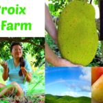 St. Croix Tropical Fruit Farm